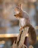 Squirrel shines Stock Photos