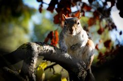 Caroline`s Grey Squirrel on the Watch on a Branch Stock Images