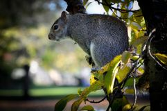 Caroline`s Grey Squirrel on the Watch on a Branch Stock Photos