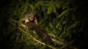 Squirrel showing off his long... tail Stock Photo