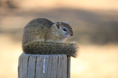 Squirrel showing off his tail. This squirrel is sitting on a wooden pole showing off his tail to the visitors in a nature reserve in South Africa Stock Photography