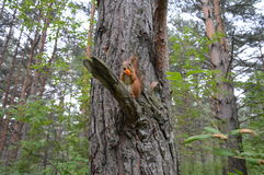 Squirrel in Siberian forest. Little squirrel agreed to be my model Royalty Free Stock Photography