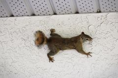 A squirrel of the side of a stucco wall.  royalty free stock image