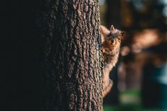 A squirrel on the side of the tree looking at the camera stock images