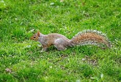 Squirrel side view on the grass central park New York City Usa. Squirrel side view on the grass of central park New York City Usa Stock Photo