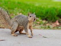 Squirrel on a sidewalk Stock Photo
