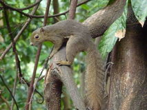 Squirrel, Singapore Stock Photography