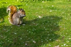 Squirrel sit and eat beans on the green lawn at the park. Squirrels in the autumn nature stock image