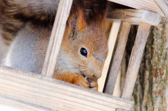 Squirrel sit in little house and eating food Royalty Free Stock Images