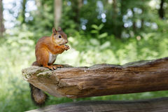 Squirrel sit on old wooden beam. Orange squirrel sits on thick old wood beam Royalty Free Stock Images