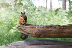Squirrel sit on old wooden beam. Orange squirrel sits on thick old wood beam Stock Image