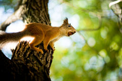 Squirrel siting on branch. With a nut in his mouth Royalty Free Stock Photography