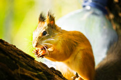 Squirrel siting on branch. With a nut in his mouth Stock Photo