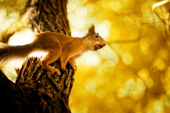 Squirrel siting on branch Stock Images