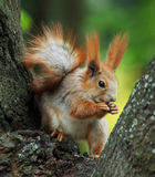 Squirrel Siting On The Tree And Eating A Nut Stock Photo