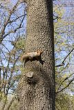 Squirrel sits across the tree trunk. Squirrel sits across the trunk of a tree in the forest in the spring Stock Photo