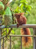 Squirrel sits on a balcony edge and eats the nuts that are hung there, with a dimly wooded background. Red-brown squirrel sits on a balcony edge and eats the stock image
