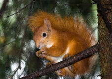 Squirrel sits on a branch. Royalty Free Stock Image