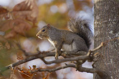 Squirrel Sits on a Branch Amid Autumn Colors Stock Images