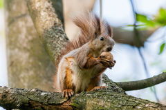 Squirrel sits on a branch and gnaws nuts Stock Photography
