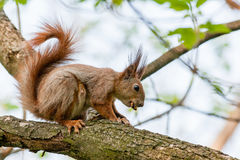 Squirrel sits on a branch and gnaws nuts Royalty Free Stock Photo