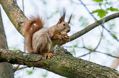 Squirrel sits on a branch and gnaws nuts Stock Photo