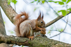 Squirrel sits on a branch and gnaws nuts Stock Images