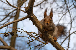 Squirrel sits on a branch and looking at the photographer. Close-up. Royalty Free Stock Photos