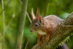 A squirrel sits on a branch Stock Photography