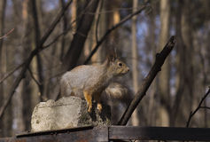 Squirrel. Royalty Free Stock Images