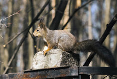 Squirrel. Royalty Free Stock Photography