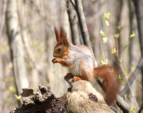 The squirrel sits on a dry snag Royalty Free Stock Photo