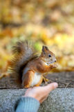 The squirrel sits and eats a cedar nut Stock Images