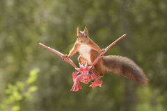 Squirrel sits on a flying dragon. Red squirrel sitting on a flying dragon Royalty Free Stock Photos