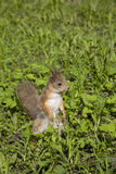 The squirrel sits in a grass. The red squirrel costs on hinder legs in a green grass stock images