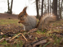 Squirrel sits on the ground Royalty Free Stock Images