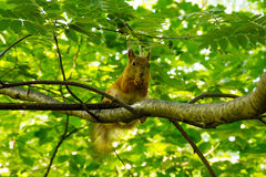 Squirrel sits high on a branch of a mountain ash in the forest eating nut Stock Photos