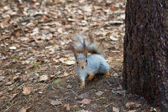 Squirrel sits near a tree Stock Images