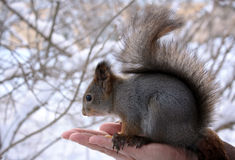 Squirrel sits on a palm. Squirrel  sits and eats nuts Stock Images