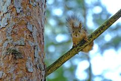 Squirrel sits on a pine bough. A red squirrel with a fluffy tail sits on a bough of thick pine Stock Photo