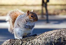 Squirrel sits on the root. Of tree thinking about - how it is hard to live on a diet Stock Images