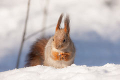 Squirrel sits on snow Stock Photography
