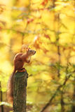 The squirrel sits on a stump against the background of autumn foliage Stock Image