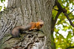 The squirrel sits on a tree Royalty Free Stock Photography
