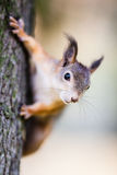 Squirrel sits on a tree. Beautiful bokeh royalty free stock photography