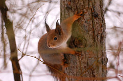 The squirrel sits on a tree Royalty Free Stock Images