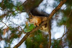 Squirrel sits on a tree. Squirrel sits on a branch of a tree, beautiful bokeh stock photo