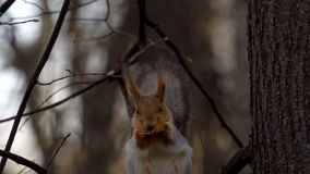 The squirrel sits on a tree branch and eats food. After eating, the squirrel brushed its fur. After the protein goes away. Spring stock video