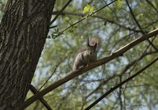 Squirrel  sits on a tree branch Royalty Free Stock Image