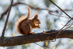 Squirrel sits on a tree Stock Photography